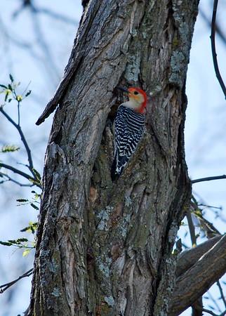2012-03-31 Woodpecker