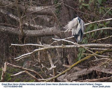 Great Blue Heron & Green Heron A80840+846.jpg