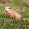 Light colored groundhog