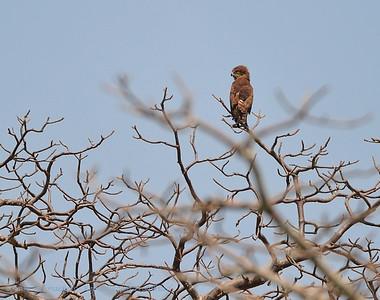 Bruine slangenarend; Brown Snake Eagle; Circaetus cinereus; EinfarbSchlangenadler; Circaète brun