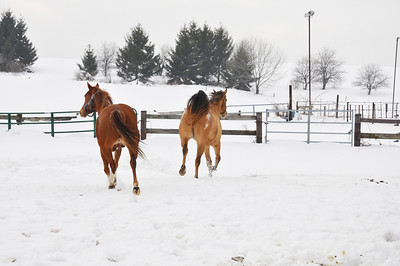 jan horse playing in snow
