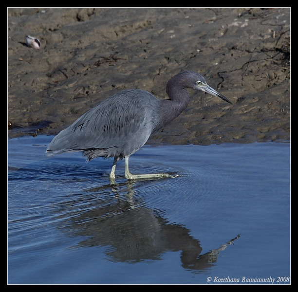 Little Blue Heron, Robb Field, San Diego County, California, December 2008