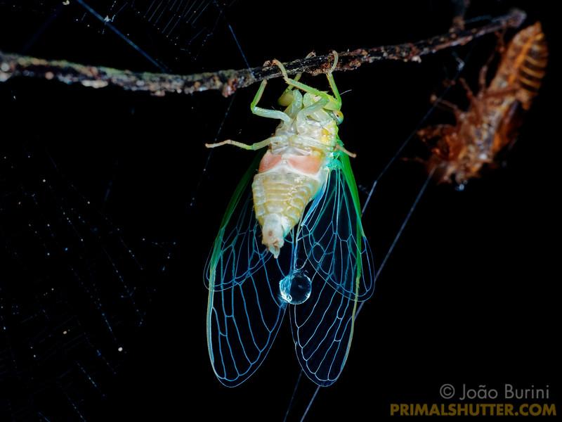 Cicada post-moult over it's exuvia