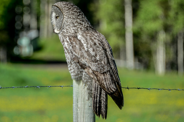 6-20-14 Great Gray Owl II