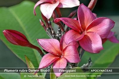 Plumeria cultivars