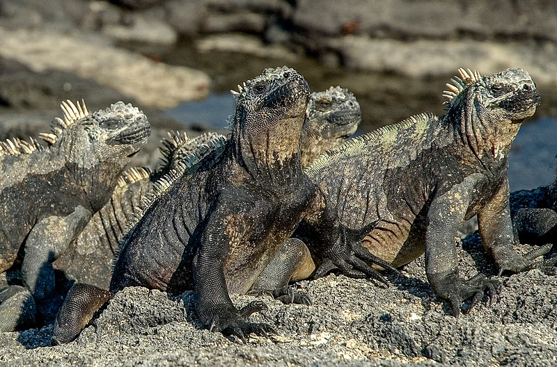 Iguanas_Galapagos Islands