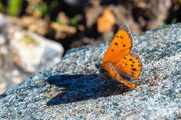 Copper (Lycaeninae)