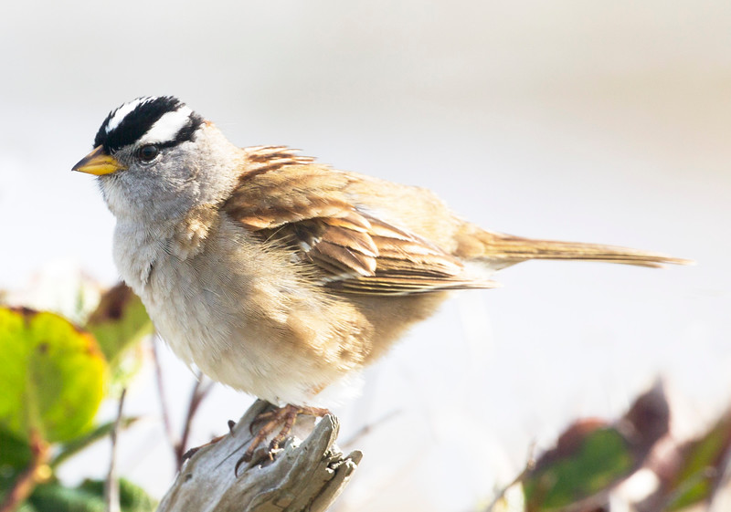 Another look at the White-Crowned Sparrow.