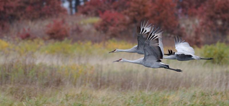Sandhill Crane Crex Meadows Grantsburg WI IMG_0001421.jpg