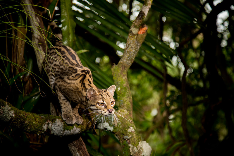 #BigCats starts 11th Jan on BBC One... One family, 40 different faces - this is a margay, known as the monkey cat, they thrive in the forests of central America where they leap from tree to tree, covering a distance as far as 4 metres, and they can rotate their ankles by 180 degrees to walk vertically down to the forest floor. #BigCats #BBCOne #Cat #Monkey #Forest #Wildlife #TV #EarthOnLocation #BBCEarth