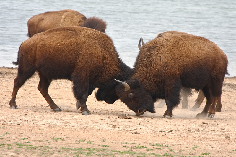 American Bison-4