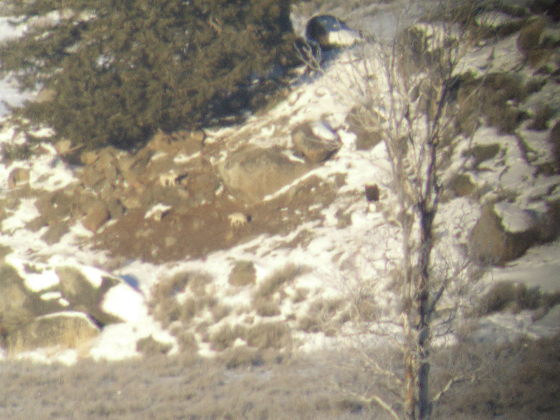Two Agate Creek wolves (in background on bare patch of dirt) and bald eagle (in tree)