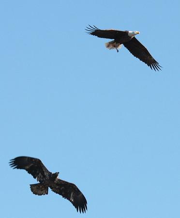 Bald Eagles, WV 11-28-09