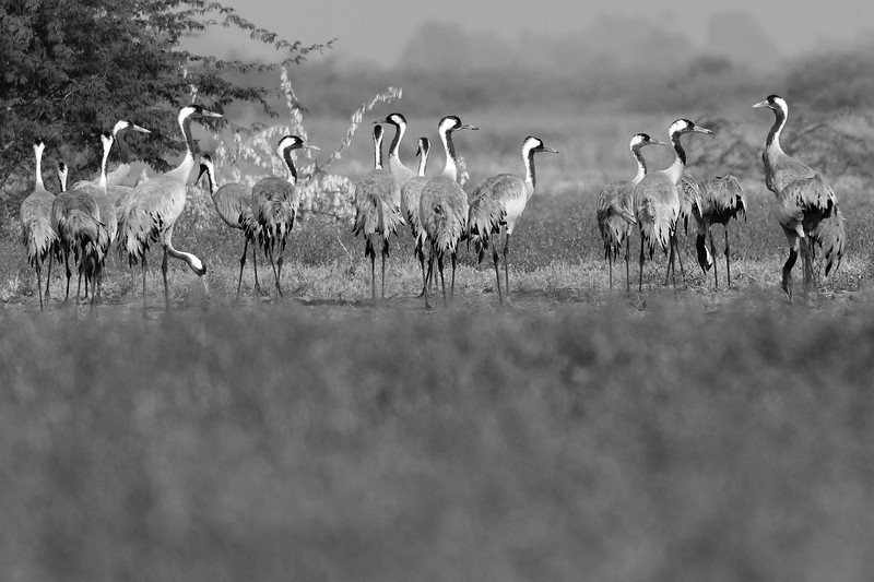 Demoiselle-Cranes-congregation.jpg