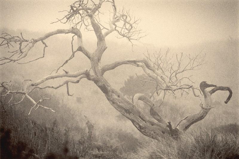 Cypress in Fog, Manchester, California