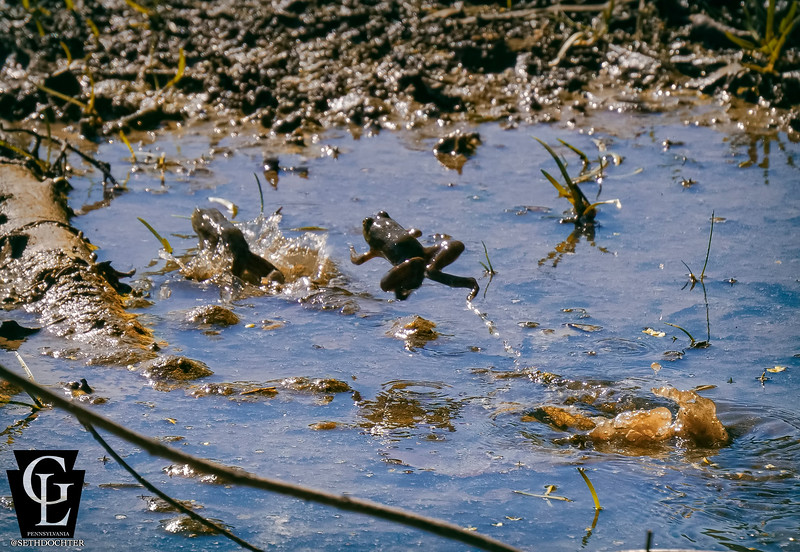 1026 - frogs jumping in the susquehanna (p,b).jpg