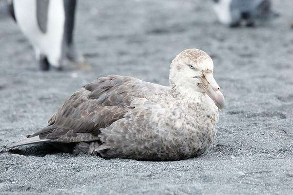 Southern Giant Petrel Antarctic