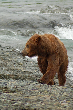 McNeil River Bears 2