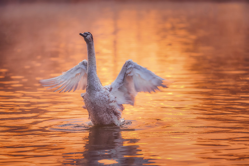 Young Swan stretching out their wings.jpg