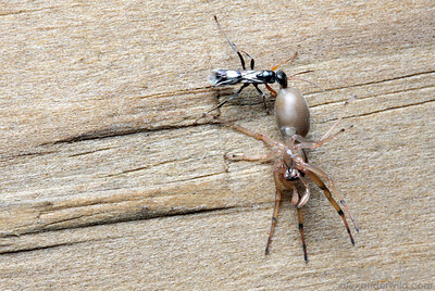 A Dipogon spider wasp drags a paralyzed spider back to the nest.  Urbana, Illinois, USA