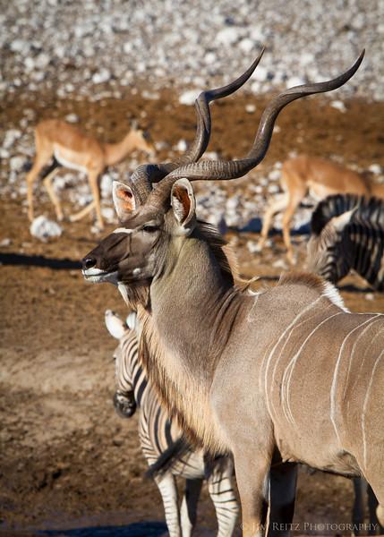 Greater Kudu at a water hole - Etosha National Park, Namibia.