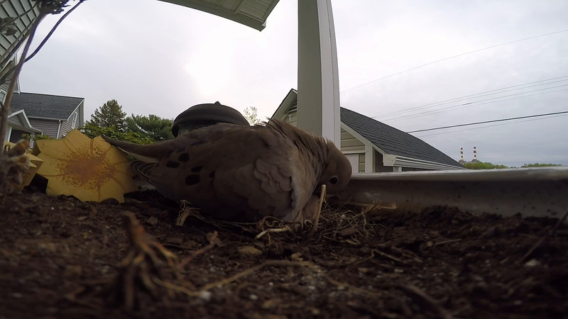 Doves Removes Hatched Egg From Nest