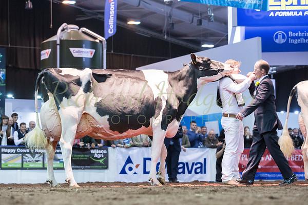 Holstein show