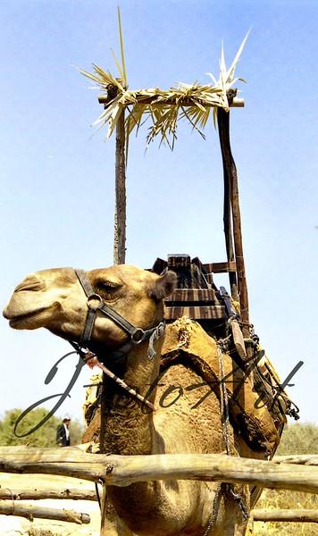 neot kedumim  camel sukkah 902.jpg