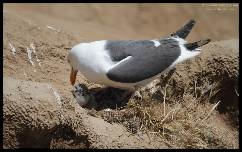 Western Gull sitting on the nest with two chicks, La Jolla Cove, San Diego County, California, June 2011