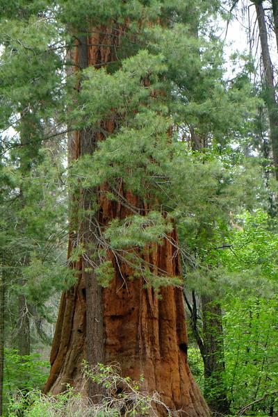 California Day 6 Sequoia 05-30-2017 41.JPG
