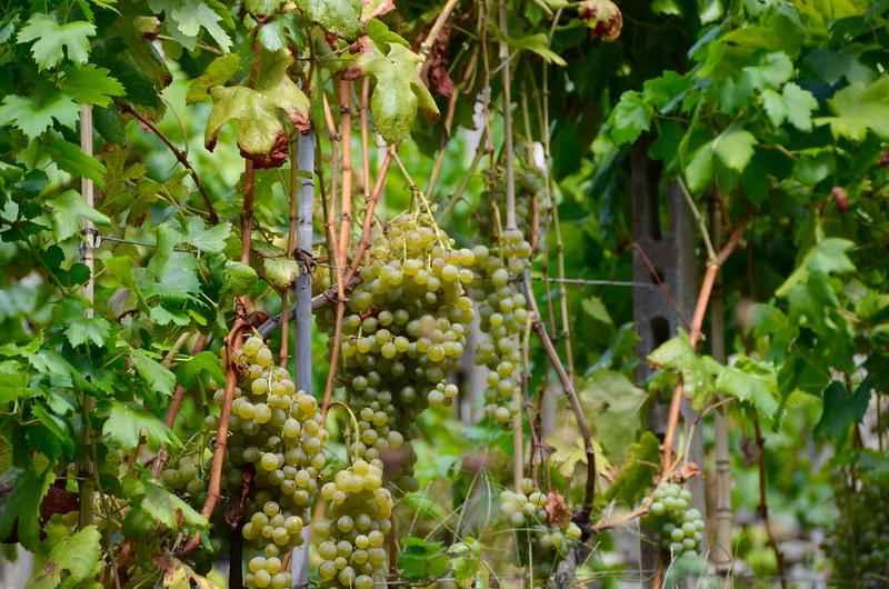 White Cinque Terre wine grapes.