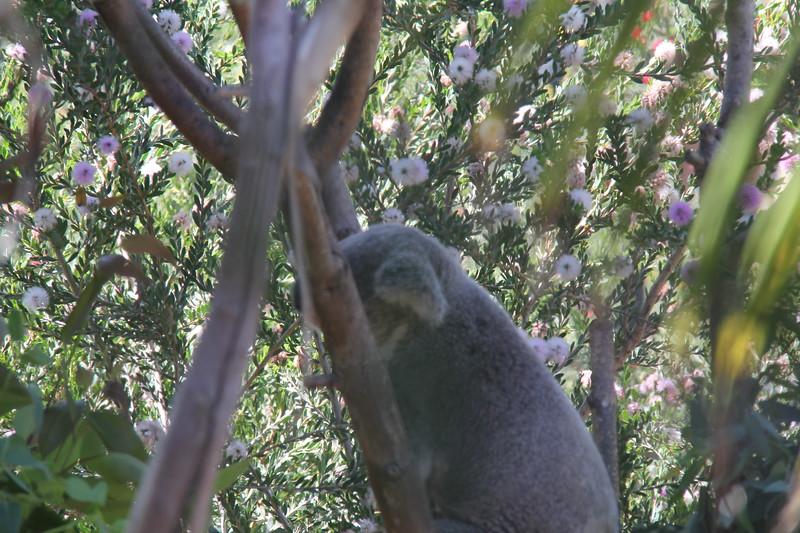 20170807-026 - San Diego Zoo - Koala.JPG