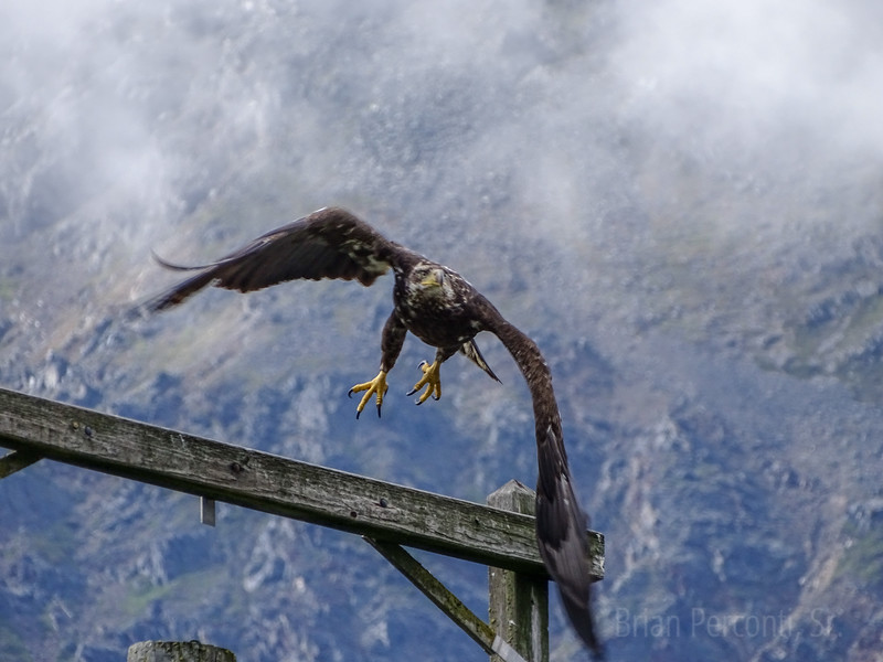 Juvenile Bald Eagle, Seward, Alaska