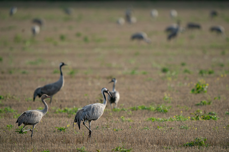 żuraw | common crane | grus grus