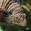 Lion Fish - NC Aquarium Pine Knoll Shores