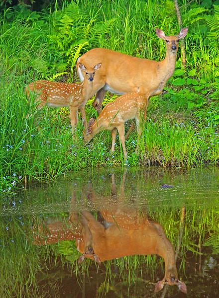 July White Tail Deer Family.jpg
