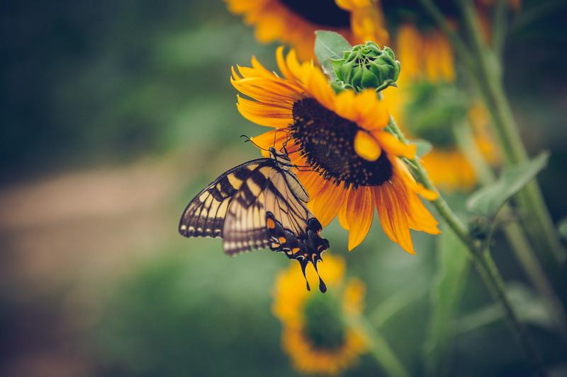 Sunflowers-26.jpg