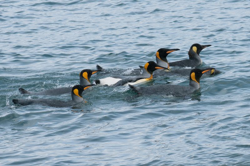 King penguins swimming in Moltke Harbor