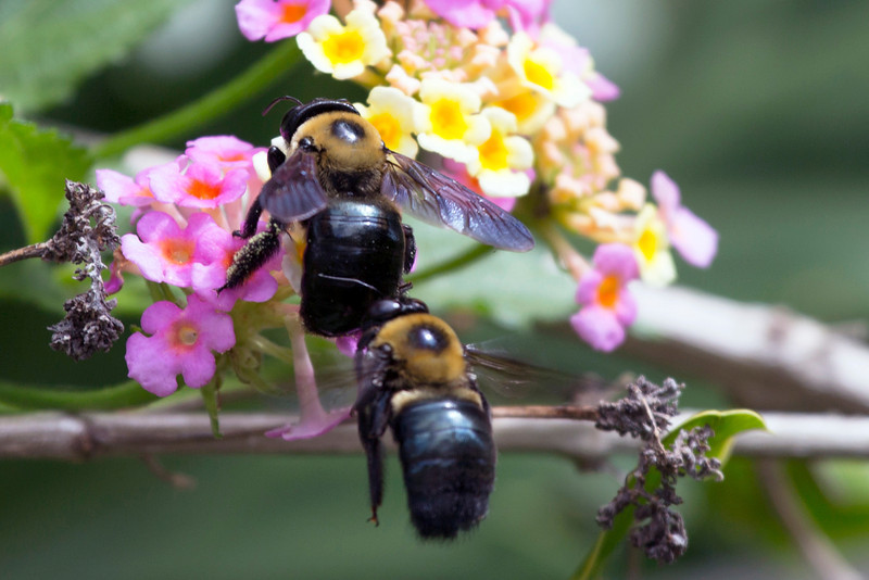 Two carpenter bees in the lantana ...