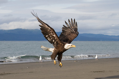 Eagle in Homer AK 2013