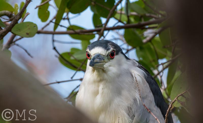 Black Crowned Night Heron Image Gallery