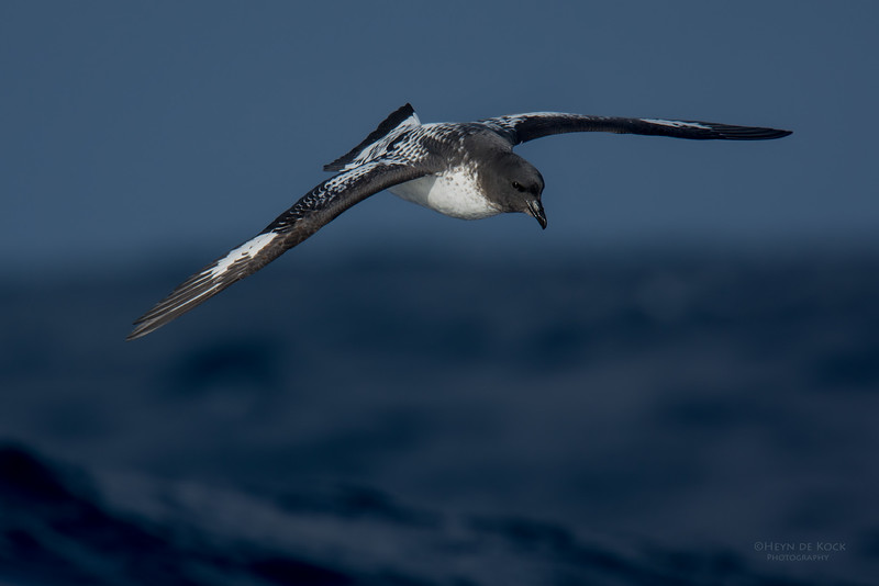 Cape Petrel, Eaglehawk Neck Pelagic, TAS, July 2015-1.jpg