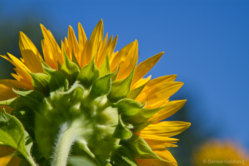 sunflower, a view from the back