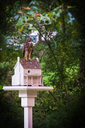 Hawk 2013