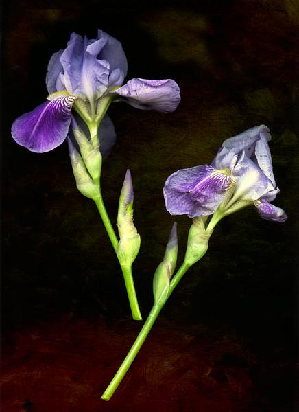 Iris scan_June 7-2012_01.jpg