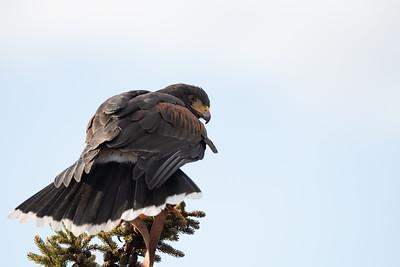 Hawk Training