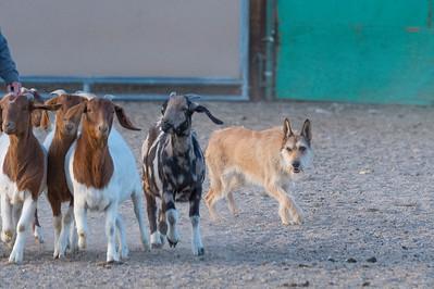 #2 Goats