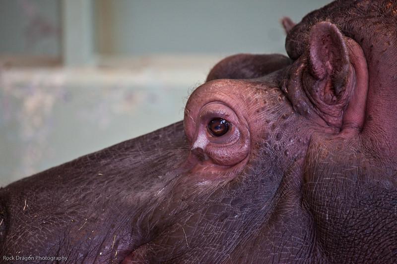 Hippopotamus, Calgary Zoo Nov. 1