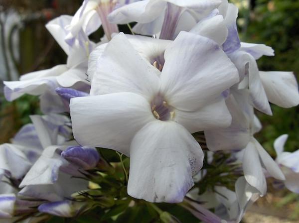 Phlox maculata 'Schneelawine'.JPG