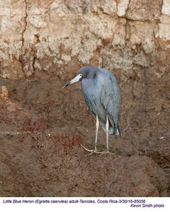 Little Blue Heron A85065 .jpg